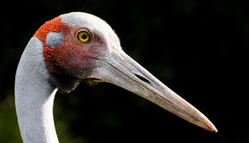 Sharp beak Royalty Free Stock Image