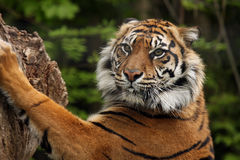 Sharp Claws. Sumatran Tiger standing up on hind legs and sharpening his claws on a tree trunk Royalty Free Stock Photography