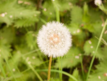 A sharp and clear isolated white dandelion head up close in spri Royalty Free Stock Image