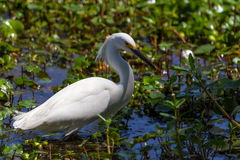 A Sharp Closeup of a Wild Snowy Egret. (Egretta thula), also known as a small white heron, Hunting for Food in Brazos Bend, Texas royalty free stock images