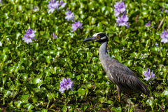 A Sharp Closeup of a Yellow-crowned Night Heron in Flowering Purple Water Hyacinth. A Sharp Closeup of a Yellow-crowned Night Heron (Nyctanassa violacea) Hunting royalty free stock photos
