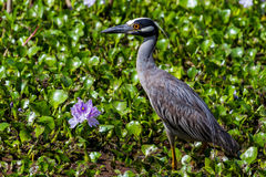 A Sharp Closeup of a Yellow-crowned Night Heron Next to a Hyacinth Flower. Royalty Free Stock Photo