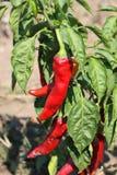Sharp da pimenta Fotos de Stock Royalty Free