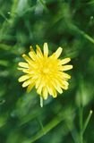 Sharp Dandelion. A sharp Dandelion flower in a garden Stock Photo