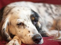 Nothing but a Hound Dog. Sharp and detailed close-up of a relaxed and pensive black and white springer spaniel against a red background stock photos