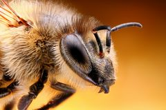 Sharp and detailed study of Bee taken with macro lens stacked from many shots into one sharp photo stock photography
