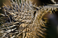 Sharp Dried Thistle Spines in the Sunlight Stock Photos