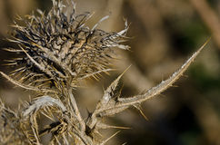 Sharp Dried Thistle Spines in the Sunlight Stock Photography
