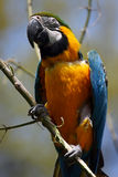 Sharp Eye. Beautiful Blue & Yellow Macaw with one eye staring directly at the camera.  Shallow depth of field with trees in the background Royalty Free Stock Images