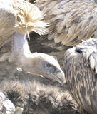 Sharp eyes close-up of vultures. Royalty Free Stock Photo