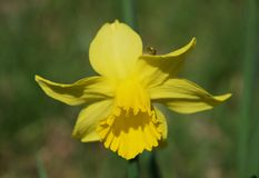 Sharp focus on one daffodil flower: bright yellow trumpet and petals in vivid sunlight royalty free stock photography