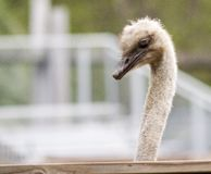 Feathered Neighbor. Sharp-focus ostrich peering over the fence into the backyard stock photos