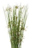 Sharp grass. Sharp green blossom  grass macro herbal isolated concept Stock Photos