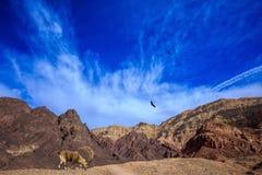 Sharp-horned goat Stock Photo
