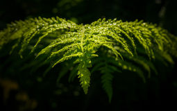 Sharp leaf of fern Royalty Free Stock Images