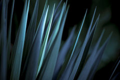 Sharp Leaves Blue Yucca. Yucca tree in moody blue light Royalty Free Stock Images