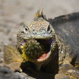 Sharp meal. The sea iguana eats a flower of a prickly cactus of a prickly pear. The Marine Iguana (Amblyrhynchus cristatus) is an iguana found only on the Royalty Free Stock Image