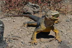 Sharp meal. The land iguana eating prickly pear cactus. Stock Photos
