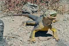 Sharp meal. The land iguana eating prickly pear cactus. Royalty Free Stock Photography