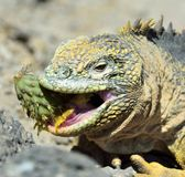 Sharp meal. The land iguana eating prickly pear cactus.The Galapagos land iguana (Conolophus subcristatus) Royalty Free Stock Photos