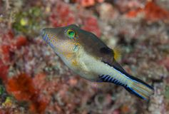 Sharp nose puffer on a reef. Stock Image