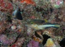Sharp nose puffer on a reef. Stock Photos