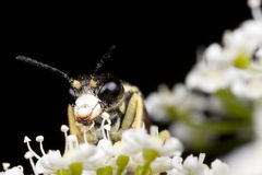 Sharp-nosed bee Stock Image