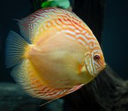 Albino Discus aqurium fish stock photography