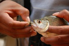 Sharp piranha teeth Stock Photography