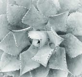 Sharp pointed agave leaves Royalty Free Stock Image