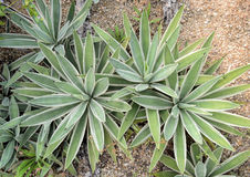 Sharp pointed agave leaves Royalty Free Stock Photography