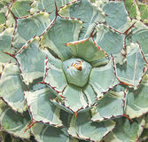 Sharp pointed agave leaves Stock Images