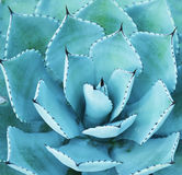 Sharp pointed agave Royalty Free Stock Images