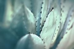 Sharp pointed agave plant leaves bunched together. Sharp pointed agave plant leaves bunched together royalty free stock image