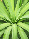Sharp pointed agave plant leaves bunched together. In garden royalty free stock images