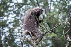 A sharp, spiky porcupine in a tree top. A porcupine with spiky quills is almost to the top of this tall tree in a North American back yard royalty free stock photos