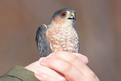 Sharp-shinned adult hawk portrait while being held after getting mist netted - released after data taken - at Hawk Ridge Bird Obse stock image