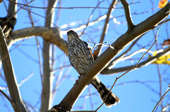 Sharp shinned hawk Royalty Free Stock Photography