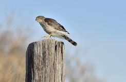 Sharp-shinned Hawk Stock Photo