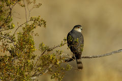 Sharp Shinned Hawk. Back view of Sharp Shinned Hawk looking right on ocotillo branch Royalty Free Stock Photography