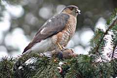 Sharp shinned  hawk Royalty Free Stock Photos