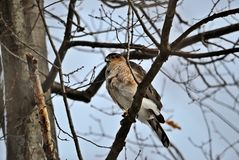 Sharp-shinned hawk Royalty Free Stock Images