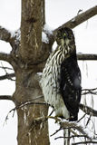 Sharp-Shinned Hawk (accipiter striatus) in a snowstorm. A Sharp-Shinned Hawk (accipiter striatus) is sitting in an ash tree during a snowstorm.  The hawk is Royalty Free Stock Images