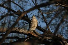 Sharp-shinned Hawk (Accipiter striatus). A Sharp-shinned Hawk (Accipiter striatus) in South Texas Royalty Free Stock Photo