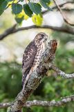 Sharp-shinned Hawk perched on a bare tree branch royalty free stock image