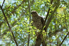 Sharp-shinned Hawk Royalty Free Stock Image