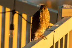 Sharp-shinned hawk perched on a back yard deck in the sunset light. Adult Sharp-shinned hawk perched on a back yard deck in the sunset light Royalty Free Stock Photo