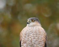 Sharp-shinned hawk portrait. Portrait of sharp-shinned hawk looking left royalty free stock image