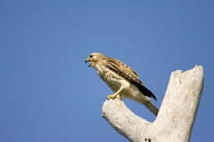 Sharp-shinned Hawk screaming Royalty Free Stock Photo