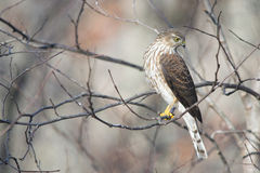 Sharp-shinned Hawk searching for prey Stock Image